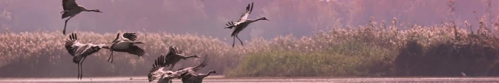 Envol d'oiseaux échassiers, réserve de la Hula en Israël (SNPI)