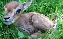 Jeune faon dans l'herbe (photo SNPI)