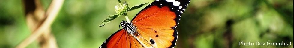 Papillon monarque, photo de la SNPI (Société de Protection de la Nature en Israël)