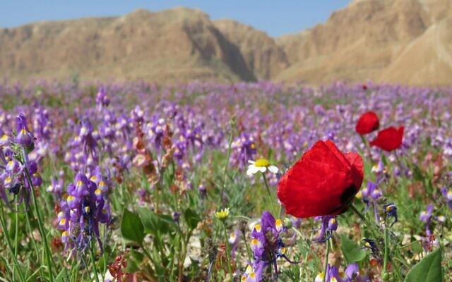 Fleurs mauves et coquelicot fleurissent dans le désert près de la mer Morte en Israël