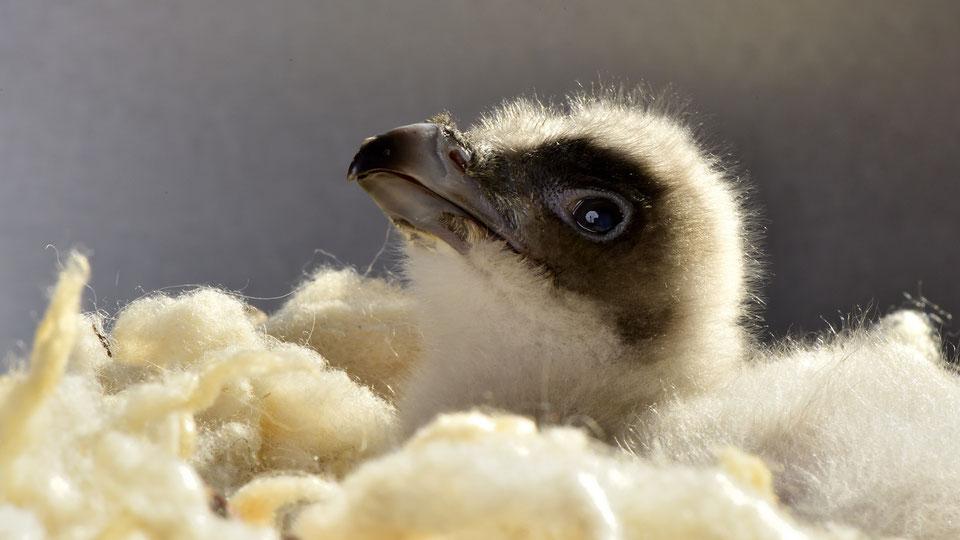 Drone-maman pour bébé vautour
