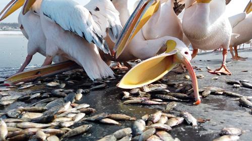 Pélicans nourris en Israël pendant leur migration